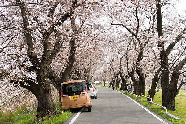 洗堰緑地土手上の桜トンネル
