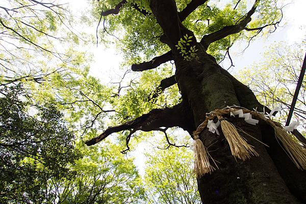 牧野神明社御神木の木