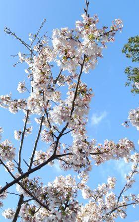 2017年玉縄桜