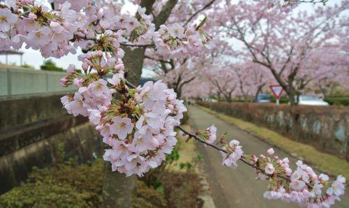 2017桜-4