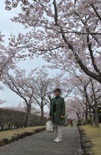 2017桜-5
