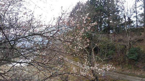 2017_03_30_三多気の桜_122_2017_04_22