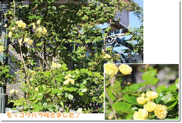 黄モッコウバラ咲いたよ~♪