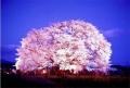 熊本400年桜