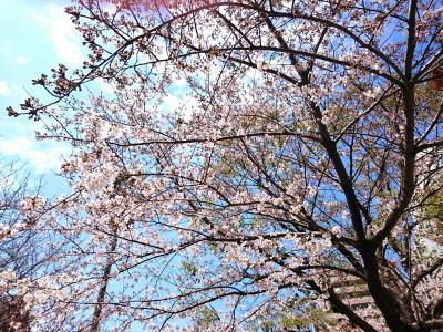 公園の桜2017