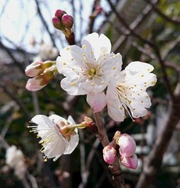 桜桃 2017350