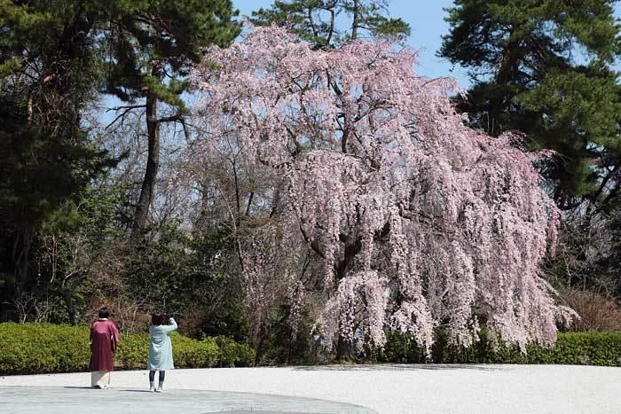 大和文華館 三春滝桜1