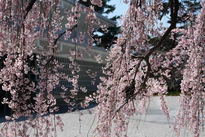 大和文華館 三春滝桜2