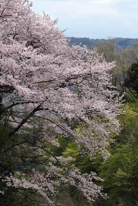生駒山 桜3