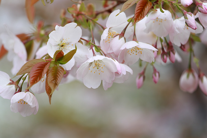 生駒山 桜4