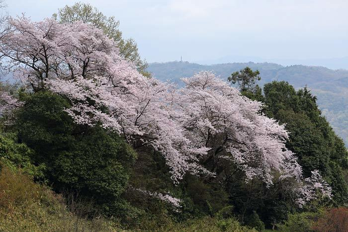 生駒山 桜1