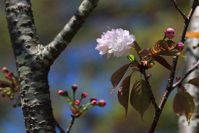 奈良八重桜1