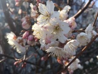 桜?2017