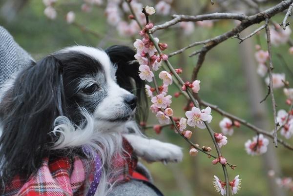 ピンクの梅とルビー