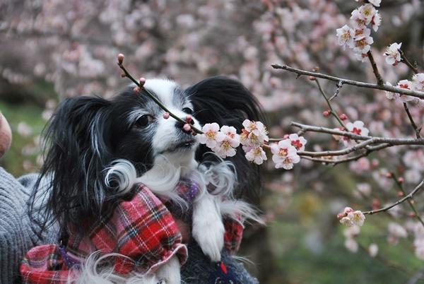 ピンクの梅とルビー2