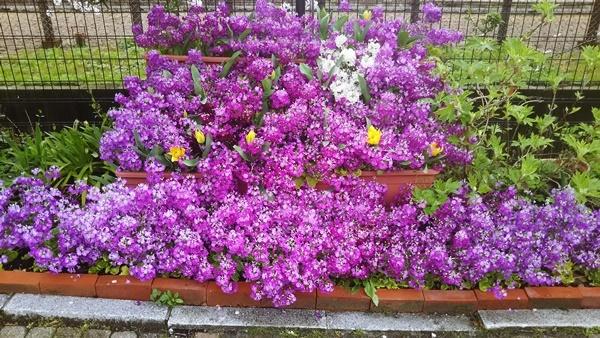 桜草の花壇