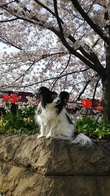 桜とチューリップ2