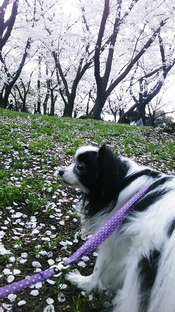 桜とルビー1