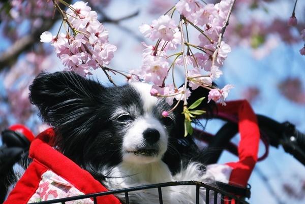枝垂れ桜と1