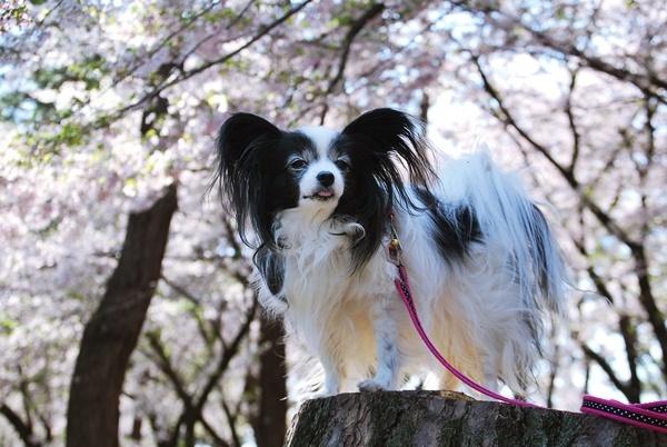 桜色に染まる