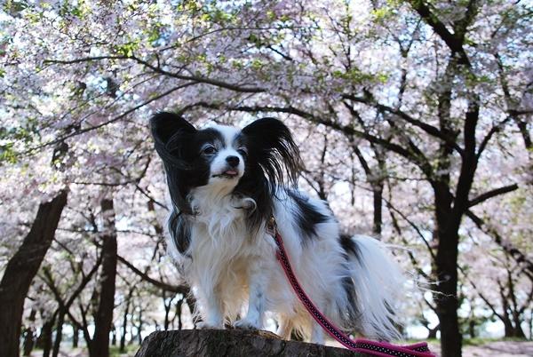 桜色に染まる6