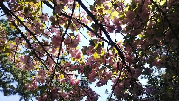 頭上の八重桜
