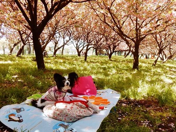 八重桜の下で2