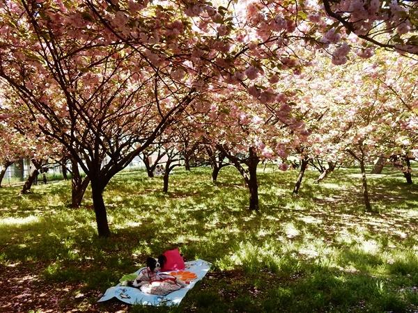 八重桜の下で3