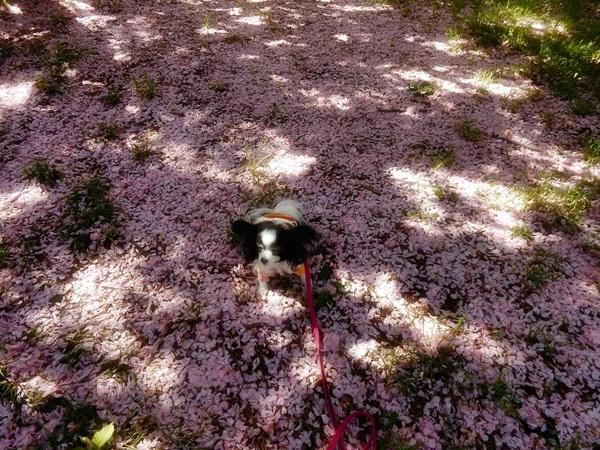 ピンクのじゅうたん1