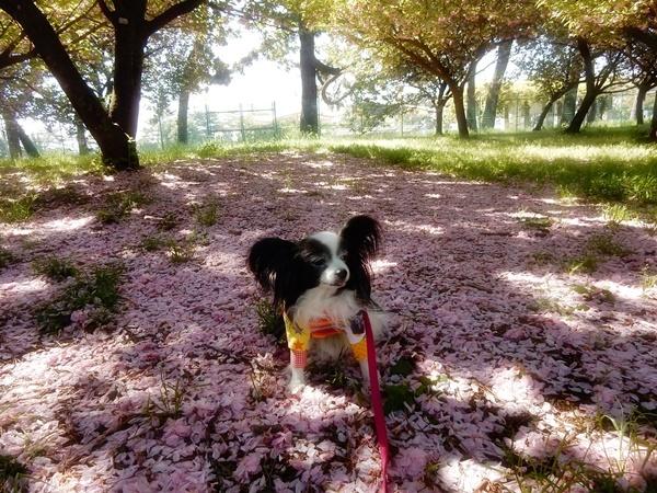 ピンクのじゅうたん5