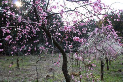 関ケ原山桜