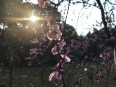 関ケ原山桜2