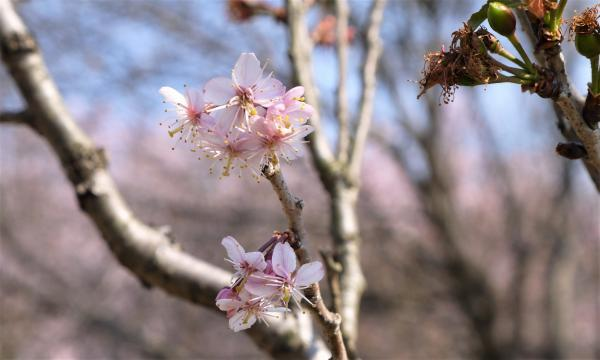 サトウニシキの花201704