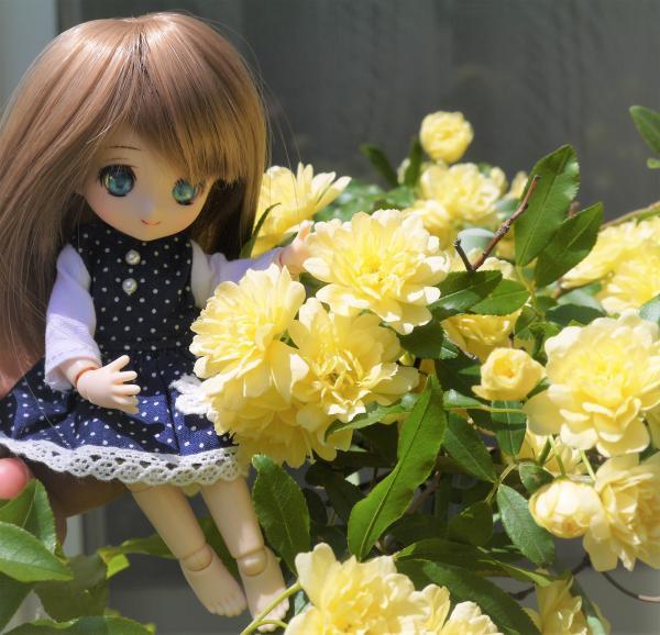 モッコウバラを愛でるあまむすリコリスちゃん201704