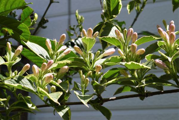 斑入りオオベニウツギいっせい開花までもう少し20704
