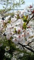 八雲神社の桜