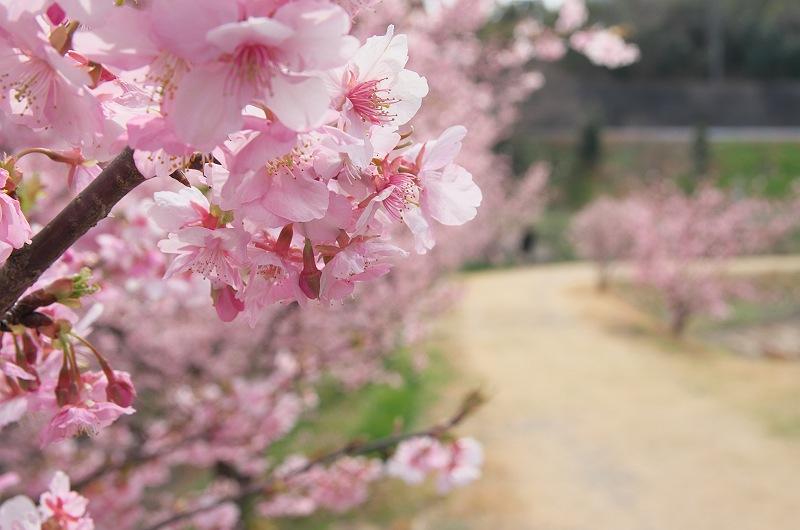 東大山に河津桜が咲く頃