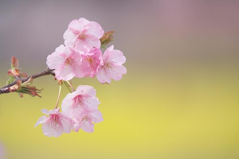 東大山に河津桜が咲く頃 3