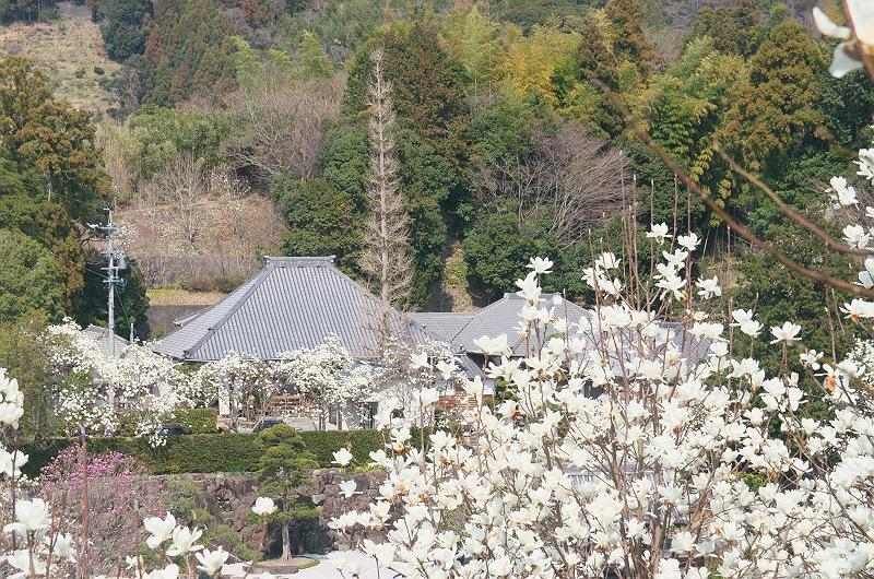 十輪寺のモクレン 二