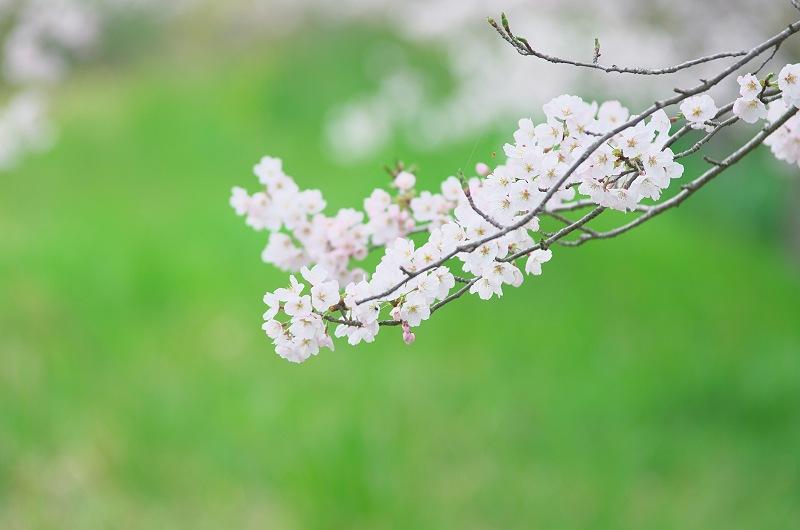 さくら咲く季節 2