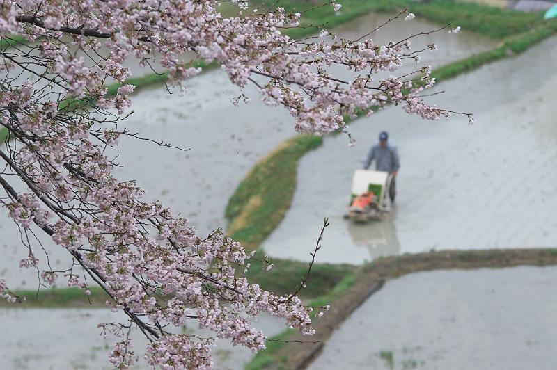 桜咲く棚田は、田植えの頃