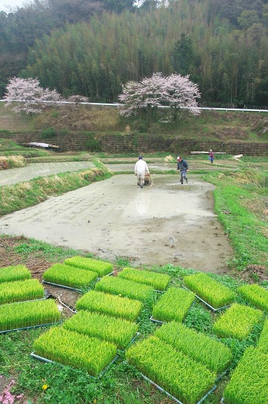 桜咲く棚田は、田植えの頃 2