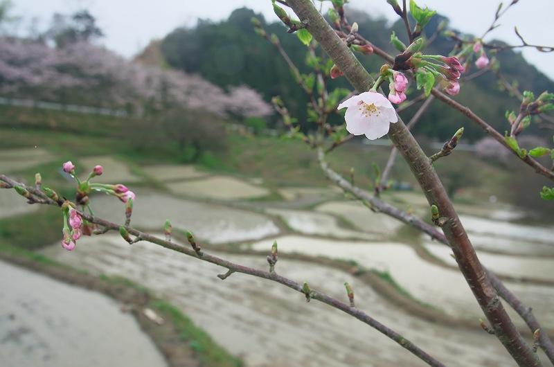 桜咲く棚田は、田植えの頃 3