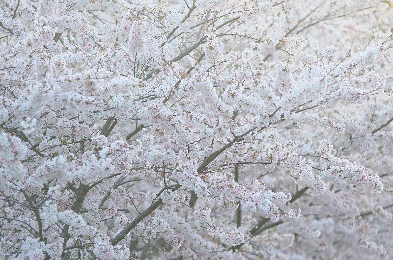 桜を愛でる