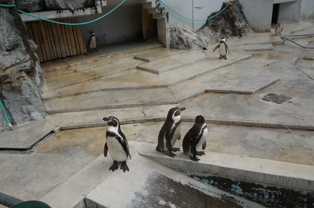 羽村動物公園のペンギン