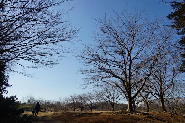 八王子の殿入中央公園の桜、咲いたら綺麗そだなぁ。