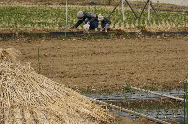 田んぼでヨモギをむしる親子