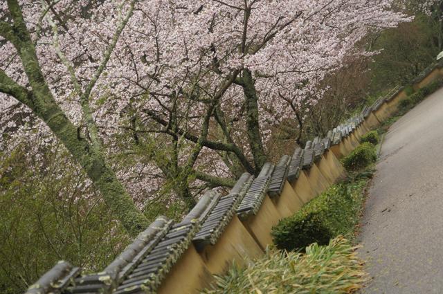 室町塀と桜
