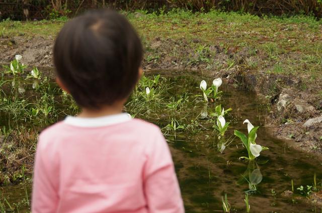 松平郷の水芭蕉