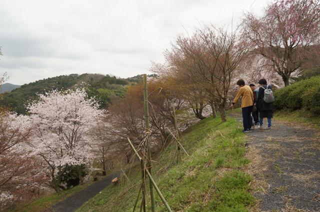 うわーすごい、桜の山